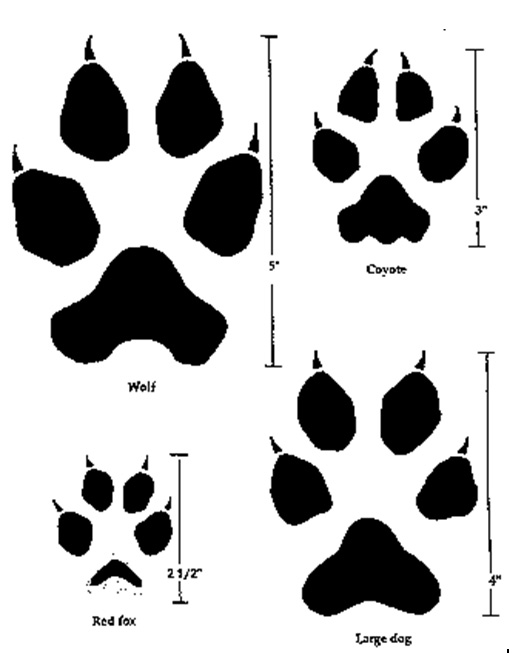 Graphic showing paw prints of wolves, coyotes, red foxes, and dogs