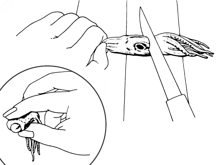 Drawing showing where to place the knife to cut off the tentacles and how to pinch them to remove the beak and viscera