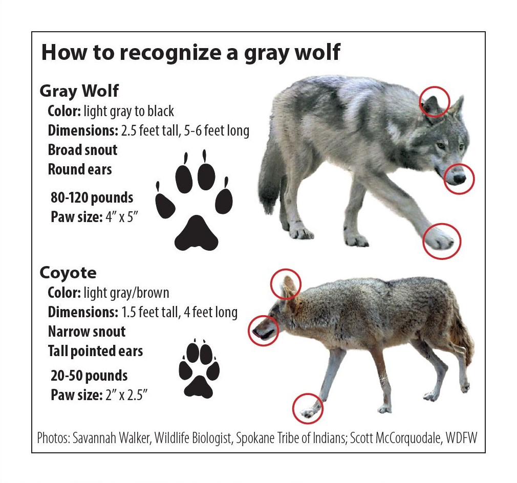Distinguishing features between wolves and coyotes are highlighted