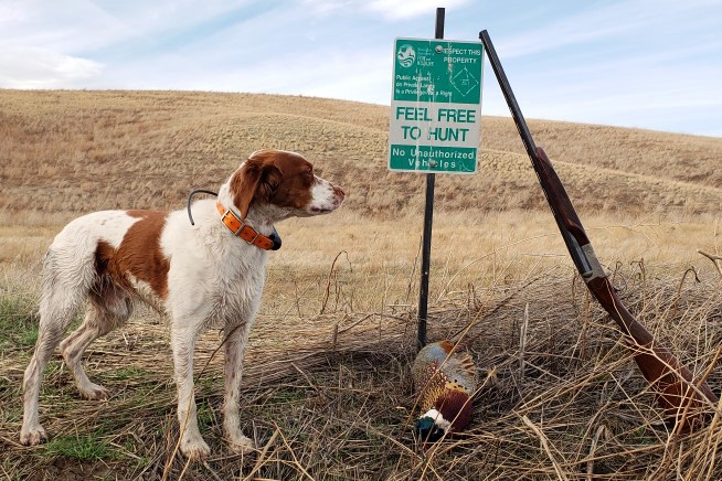 Hunting dog standing next to Feel Free to Hunt sign with shotgun resting on it and a harvested pheasant below in the grass