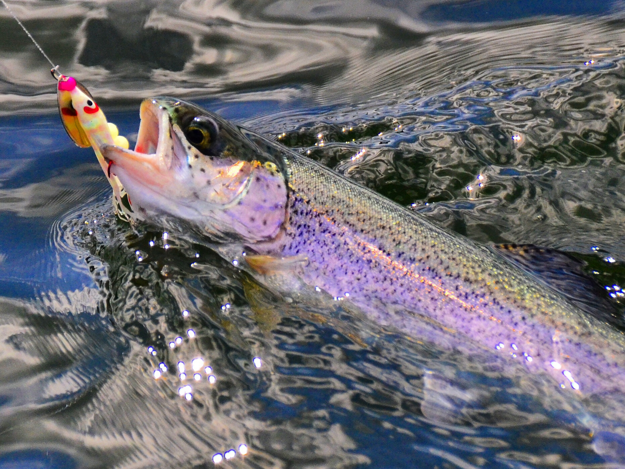 Rainbow trout gets reeled in.
