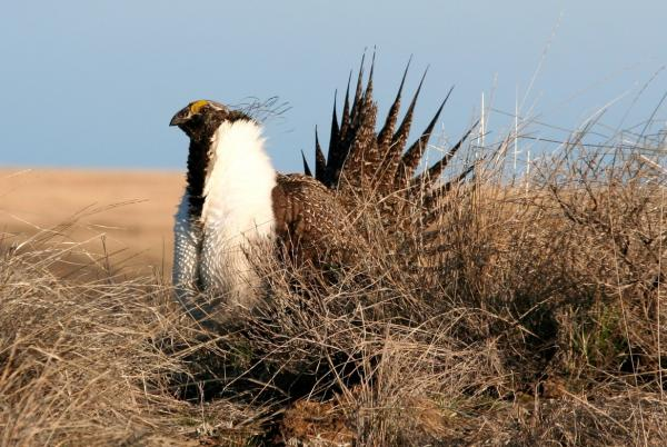Male greater sage grouse displaying on a lek