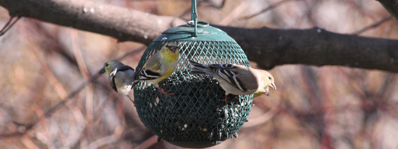 Finches on a feeder