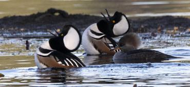 Two male hooded mergansers swim alongside a female