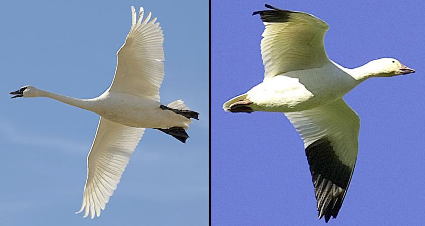 Side-by-side photo comparison of adult trumpeter swan and adult snow goose in flight for identification purposes.