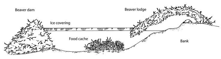 beaver washington department of fish \u0026 wildlife Beavers Building Dams diagram showing where the food cache is in relation to the dam and the lodge