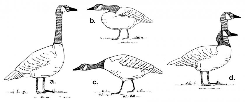 Drawings of geese showing different body displays