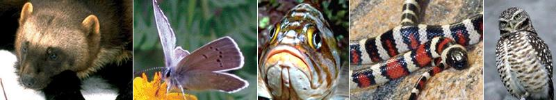 """Photo montage banner with a Wolverine, Taylor's Checkerspot butterfly, Rockfish, King snake and Spotted owl"