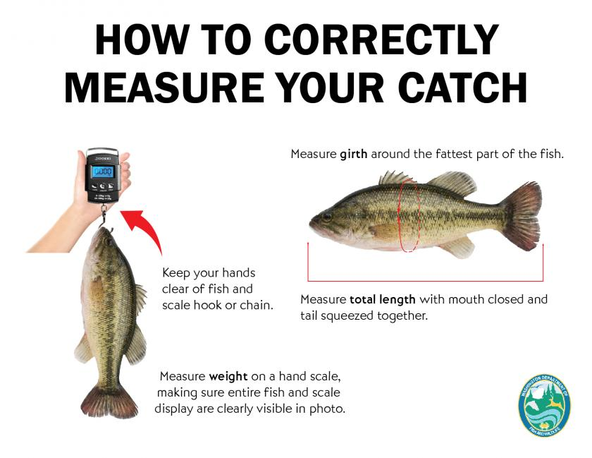 Diagram illustrating the proper method for measuring a fish
