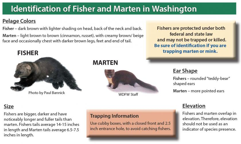 Graphic showing how to distinguish fishers and martens for trapping purposes