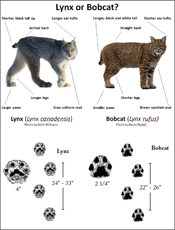 Side by side comparison of lynx and bobcat anatomy to help trappers distinguish between the two animals