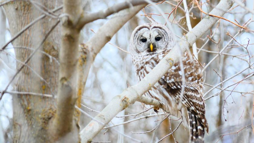 Barred owl perched in a tree