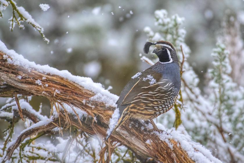 California quail sits on sagebrush with snow