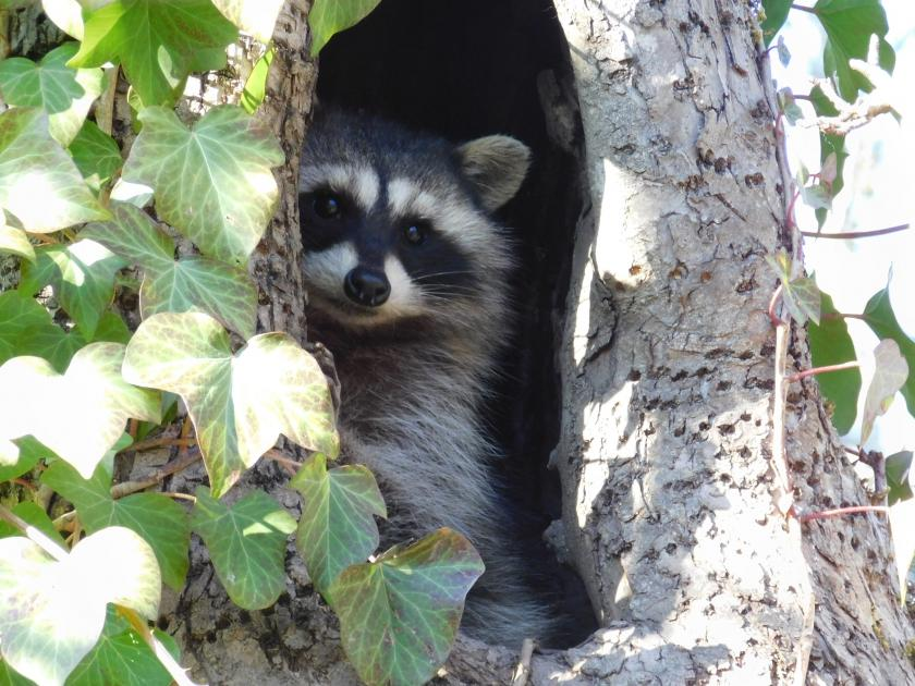 Raccoon hanging out in tree cavity