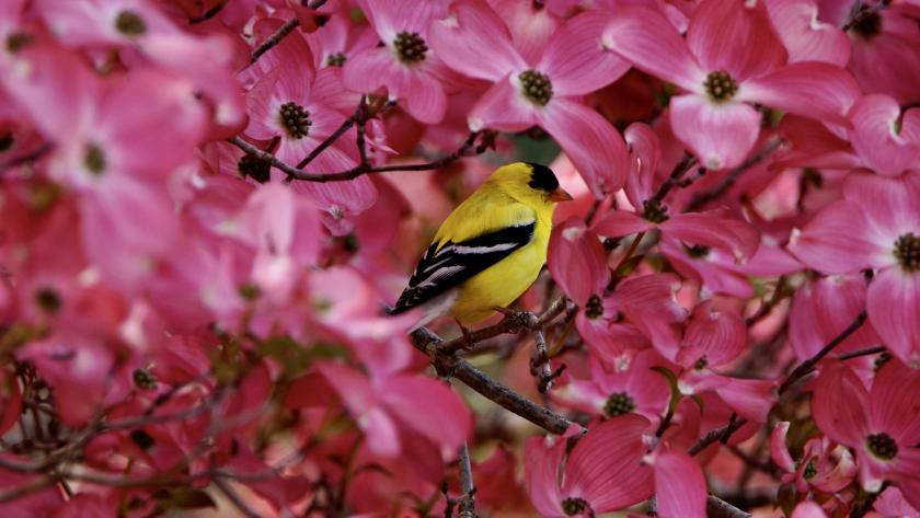 An American goldfinch in dogwood