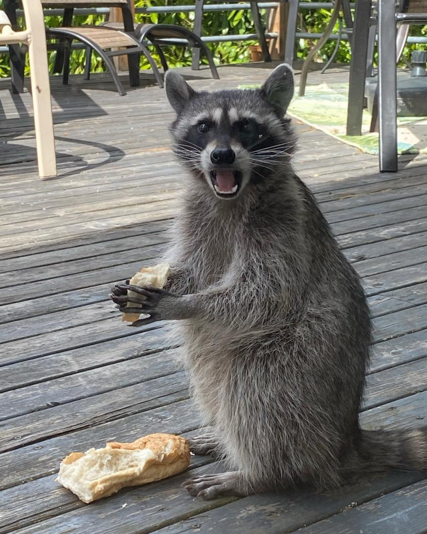 Raccoon caught eating bread on a porch