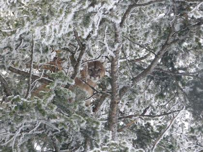 Cougar in tree in winter