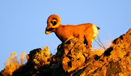 Photo of a bighorn sheep standing on a rocky outcrop at sunset