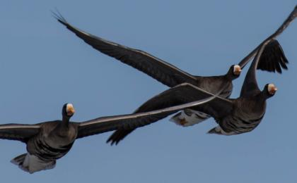 Three white-fronted geese in flight