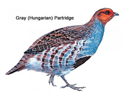 Color illustration of a gray (Hungarian) partridge