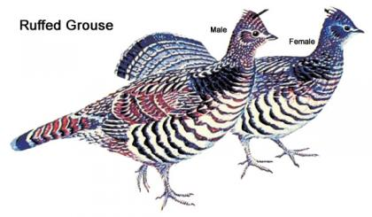 Illustration showing the differences between male and female ruffed grouse