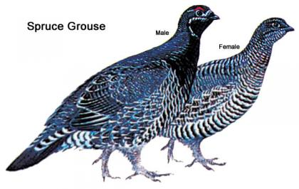 Illustration showing the differences between male and female spruce grouse