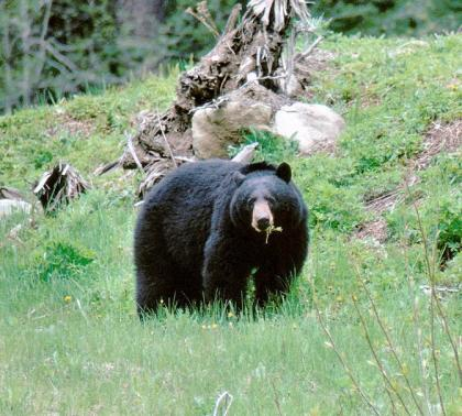 A large black bear forages in a forest clearing.