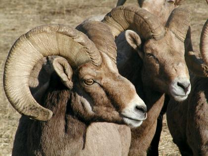 Closeup photo of two bighorn sheep