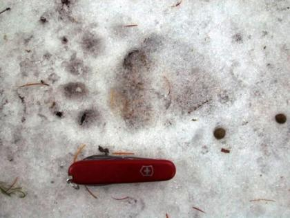 A back bear foot print a pocket knife lay next to each other for scale.