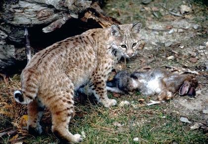 Bobcats | Washington Department of Fish & Wildlife