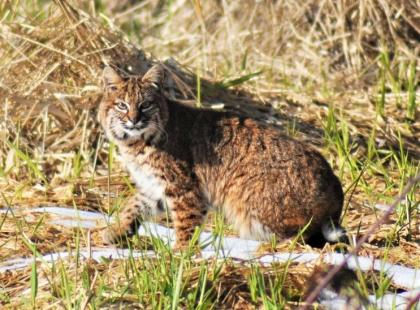 A bobcat crouches in an open clearing.