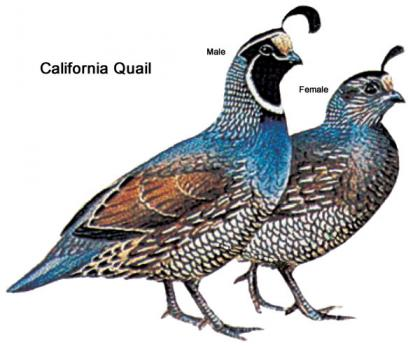 Color illustration of a male and female California quail