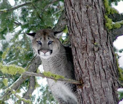 Adult male cougar stands in tree.