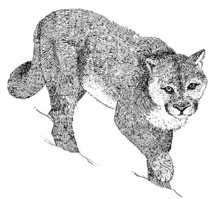 Cougars are a stalk and wait predators and the majority of prey is killed by a sudden explosive burst of speed.