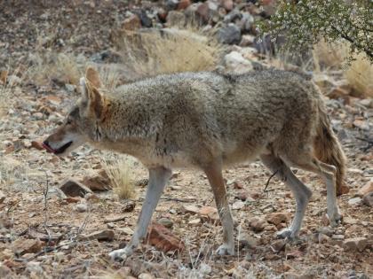 4fe4b3cf Coyotes | Washington Department of Fish & Wildlife