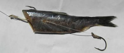 Cut plug herring with a hook at the front of the fish and another coming out of the side of the body