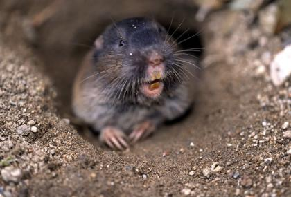 A pocket gopher emerges from its burrow