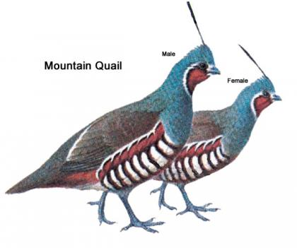 Color illustration of a male and female mountain quail