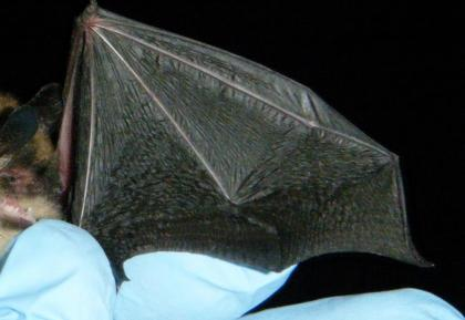 Image showing a normal Little brown bat wing