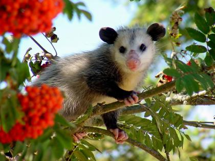 An opossum sits in a tree