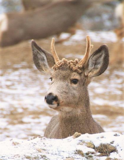 A yound deer displays recently developed buttons and forks.