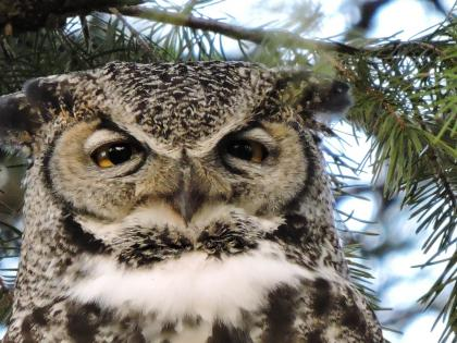 A great horned owl sits in a tree.