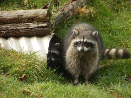 Raccoons | Washington Department of Fish & Wildlife