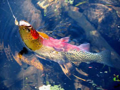Vibrantly colored cutthroat trout hooked with its head partially out of the water