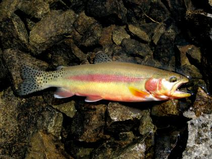 Freshly caught golden trout with bright red, gold, and orange colors laying atop some rocks on the bank of the lake