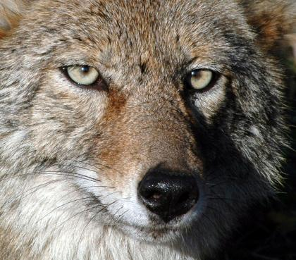 7fca8e96 Closeup photo of a coyote looking directly into the camera