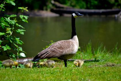 Canada goose standing on the grass near a lake with several chicks around her feet
