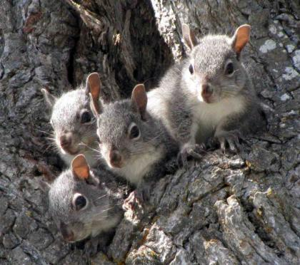 A group of gray squirrels huddle in the nook of a tree.