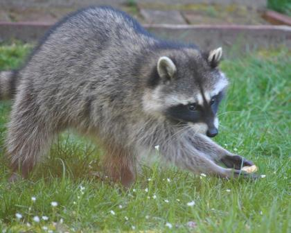 A raccoon sneaks a piece of food from a yard.