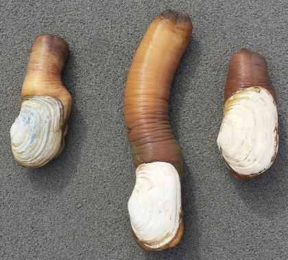 Three geoducks on a table with their siphons extended at different lengths